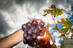 Autumn in the vineyard Royalty Free Stock Photography