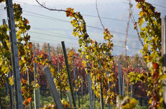 Autumn vineyard. Grapes in an old vineyard in autumn stock images