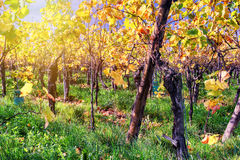 Autumn vineyard after harvest Royalty Free Stock Photos