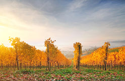 Autumn vineyard on a hill, lit by warm early morning light Stock Photos