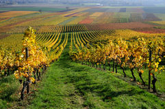 Autumn vineyard Stock Photography