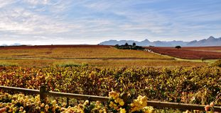 Autumn in the vineyard. Landscape with vineyards in autumn colors royalty free stock photo