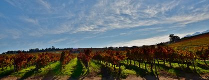 Autumn in the vineyard. Landscape with vineyards in autumn colors and blue sky stock photo