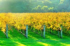 Autumn vineyard in late afternoon Stock Photography