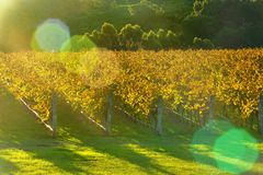 Autumn vineyard with low afternoon sun Royalty Free Stock Photography