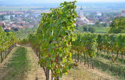 Autumn in the vineyard, Lower Austria Stock Image