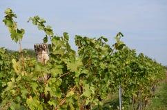 Autumn in the vineyard, Lower Austria Royalty Free Stock Photo