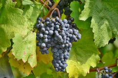 Autumn in the vineyard, Lower Austria Royalty Free Stock Image