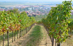 Autumn in the vineyard, Lower Austria Royalty Free Stock Images