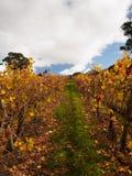 Autumn Vineyard met gouden bladeren Stock Fotografie
