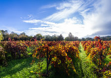 Autumn vineyard in the morning. Colorful autumn vineyard in Calistoga California early morning with the sun breaking thru the fog in the background Stock Photos