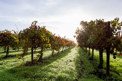 Autumn vineyard in the morning. Morning fog and due at sunrise in a colorful vineyard in Calistoga California due to seasonal changes in autumn Stock Photography