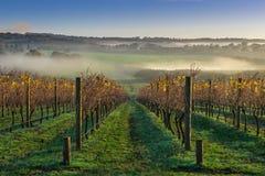 Autumn Vineyard. Morning Autumn vineyard near Balnarring Stock Photos
