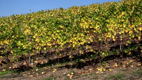 Autumn vineyard in Oltrepo Pavese, northern Italy. stock video