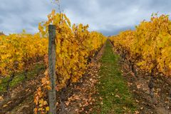 Autumn in vineyard. Part of colorful autumn vineyard with the cloudy sky at rainy day. Beautiful landscape near the Lausanne city, canton Vaud, Switzerland Royalty Free Stock Photography