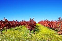 Autumn vineyard at Portugal Royalty Free Stock Photos