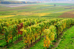 Autumn vineyard Stock Images