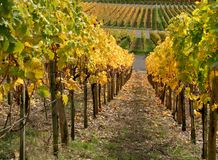 Autumn vineyard scenery Stock Photo