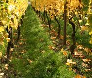 Autumn vineyard scenery Royalty Free Stock Images