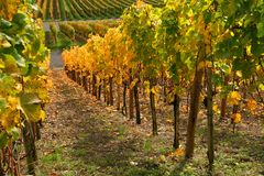 Autumn vineyard scenery Stock Photos