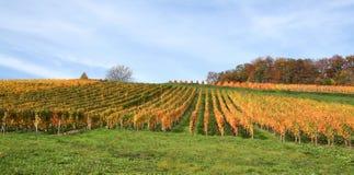 Autumn vineyard scenery Stock Photos