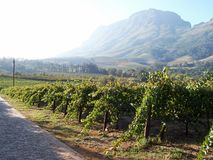 Autumn  Vineyard  Stellenbosch Royalty Free Stock Images