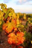 Autumn vineyard at sunset Royalty Free Stock Image