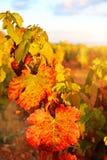 Autumn vineyard at sunset Stock Images