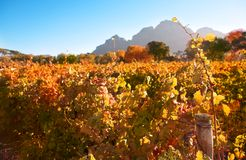 Autumn in the vineyards Stock Images