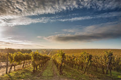 Autumn vineyards on the background of blue sky Stock Image