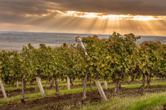 Autumn vineyards on the background of blue sky Royalty Free Stock Image