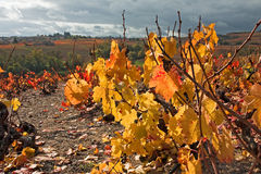 Autumn vineyards in Beaujolais France Royalty Free Stock Images