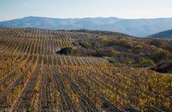 Autumn vineyards Royalty Free Stock Images