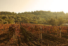 Autumn vineyards Royalty Free Stock Photography