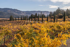 Autumn in the vineyards. Colorful landscapes of vines during autumn month in the wine county, Napa California Royalty Free Stock Photo