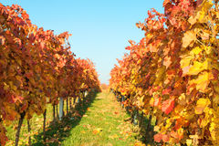 Autumn vineyards with colorful leaves Royalty Free Stock Images