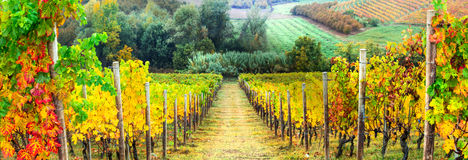 Autumn vineyards landscape. Italy, Tuscany. Golden rows of vineyards. Autumn landscape. Italy royalty free stock images