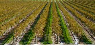 Autumn Vineyards no road Royalty Free Stock Photography