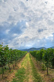 Autumn vineyards and organic grape royalty free stock images