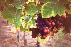 Autumn vineyards with organic grape on vine branches. Wine making concept royalty free stock photography