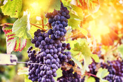 Autumn vineyards and organic grape on vine branches Stock Photo