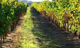 Autumn vineyards at Portugal. Autumn leaves on the vines in the vineyards at Portugal royalty free stock photos