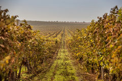 Autumn vineyards at sunrise Stock Photos