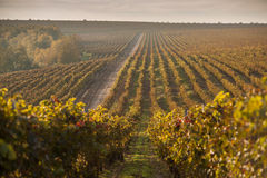 Autumn vineyards at sunrise Royalty Free Stock Images