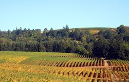 Autumn Vineyards and Trees. Rows of vineyards sporting fall colors Royalty Free Stock Photos
