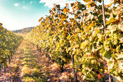 Autumn vineyards of wine route. France, Alsace Royalty Free Stock Photo