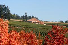 Autumn Vineyards and Winery. Vineyards and a winery viewed from behind richly colored maple trees in autumn Stock Images