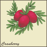 Autumn vintage card with cranberries. Illustration Royalty Free Stock Image