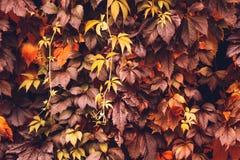 Autumn Virginia Creeper Arkivfoton