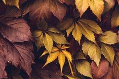 Autumn Virginia Creeper Fotografia de Stock Royalty Free